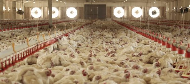 chicken-farm-footage-012759460_prevstill